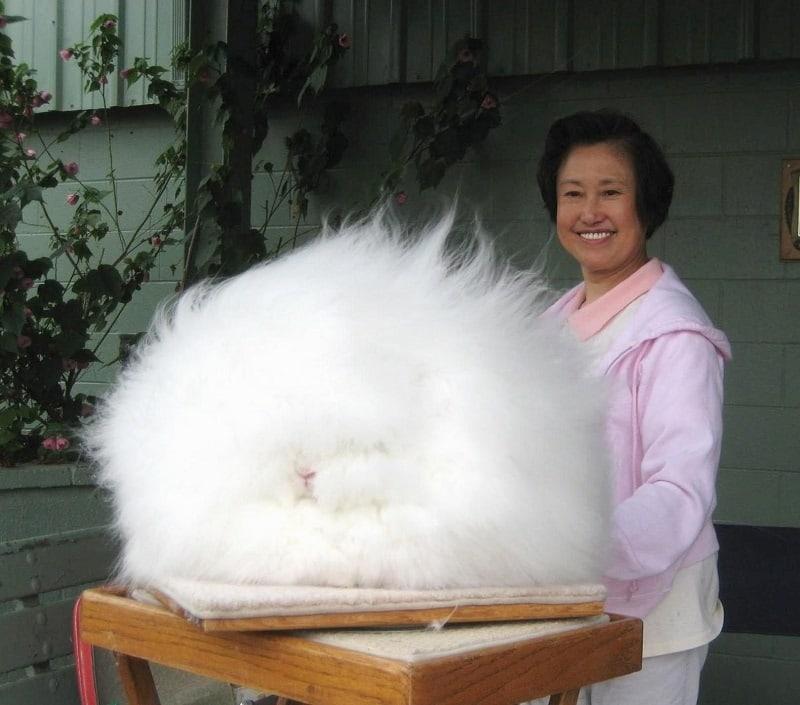 1-Огромный ангорский кролик