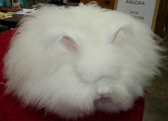 Самое удивительное животное мира | Кролик ангорский