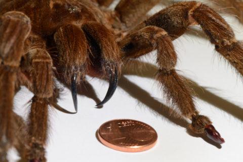 Топ 10 самые большие пауки в мире