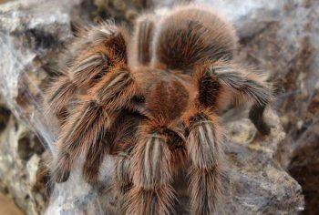 Гигантский бабуиновый паук (Spider Hysterocrates)