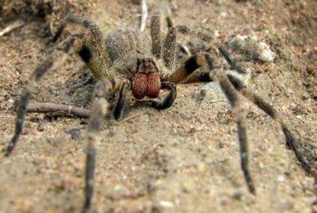 Один из самых ядовитых пауков в мире | Бразильский странствующий паук (Phoneutria Brazil)