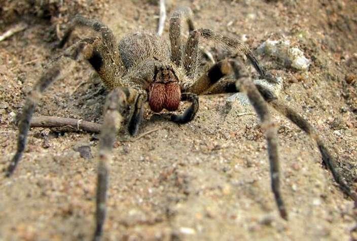 Бразильский странствующий паук (Phoneutria Brazil)