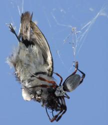 Топ 10 Самые большие пауки в мире | Нефила-золотопряд (Nephila edulis)