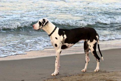 Топ 10 самые большие породы собак в мире | Немецкий дог