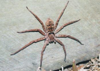 Гигантский Крабовый паук (Huntsman Spider)