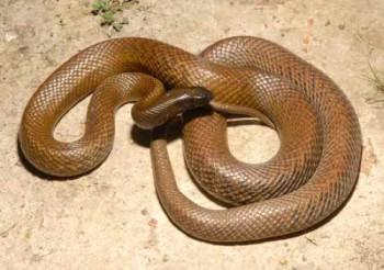 Самая ядовитая змея на планете | Тайпан или Свирепая змея