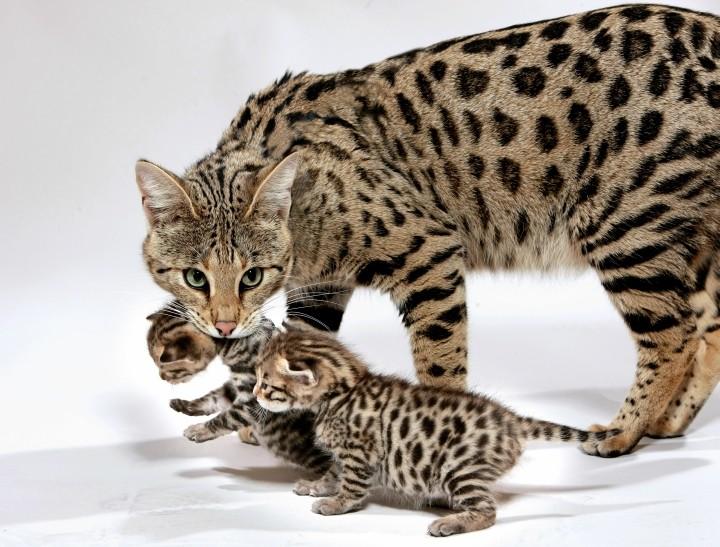 Самая большая порода кошек в мире | Саванна