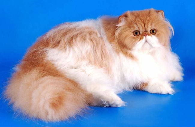 Персидские кошки