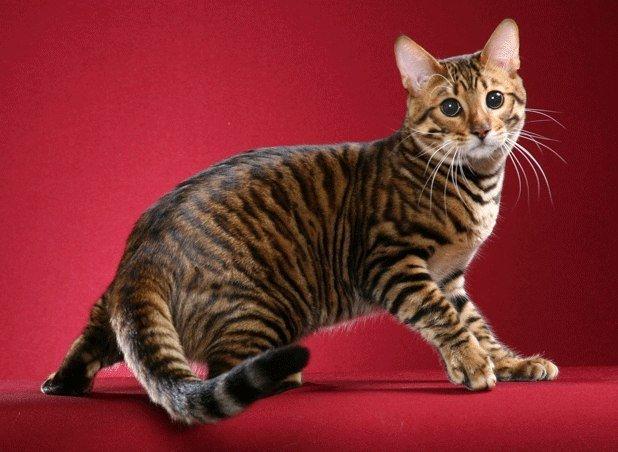 Кошки породы Аллерка