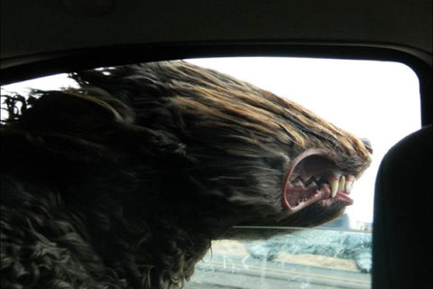 Dog Enjoying The Wind