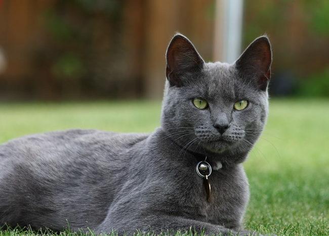 Голубые русские кошки