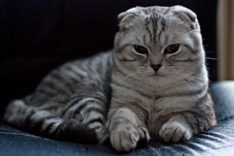 Вислоухие шотландские кошки