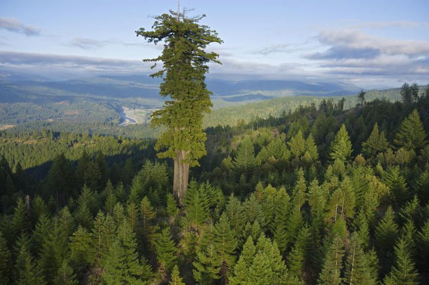 рокфеллер дерево