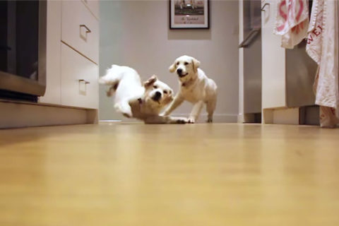 puppies-growing-up-timelapse-video-golden-retrievers-colby-bleu-coverimage