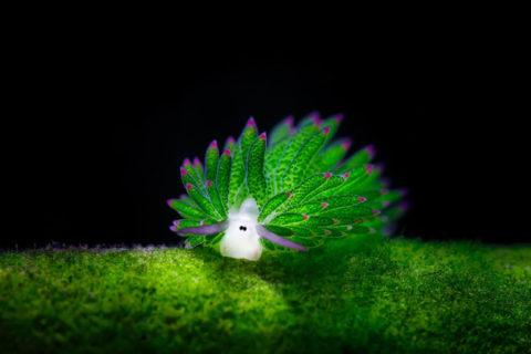 Единственный в мире светящийся моллюск с эффектом солнечной батарейки