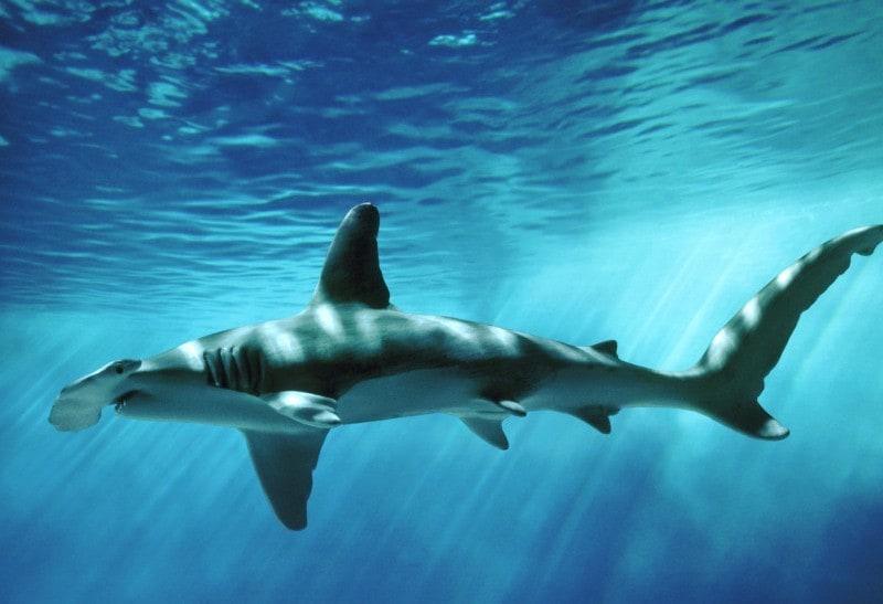 Гигантская акула-молот