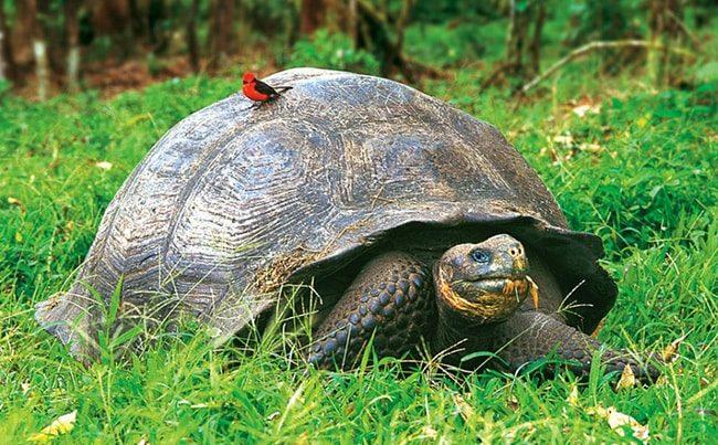 Слоновая галапагосская черепаха