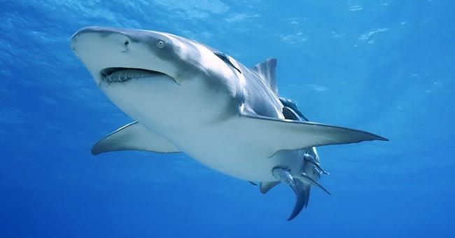 большая белая акул