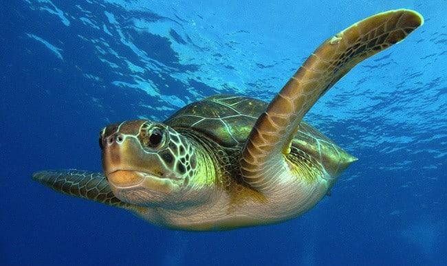 Зелёная черепаха
