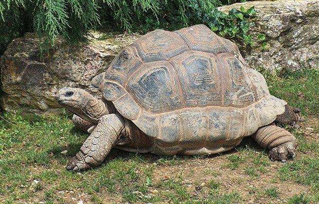 Исполинская сейшельская черепаха