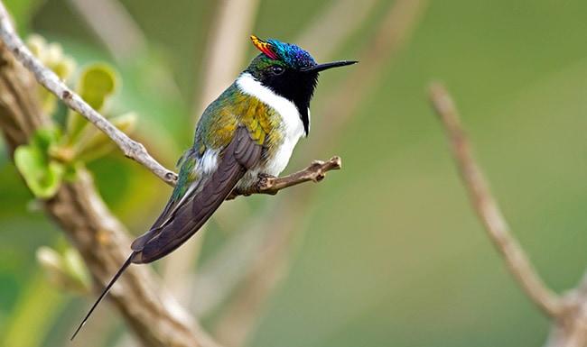 Рогатый колибри