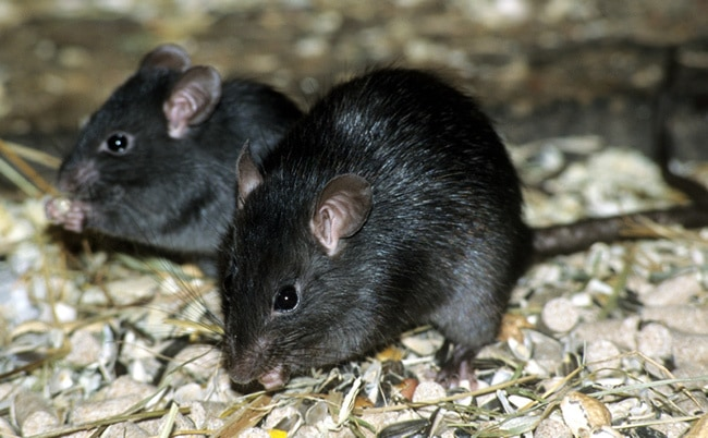 Чёрная крыса