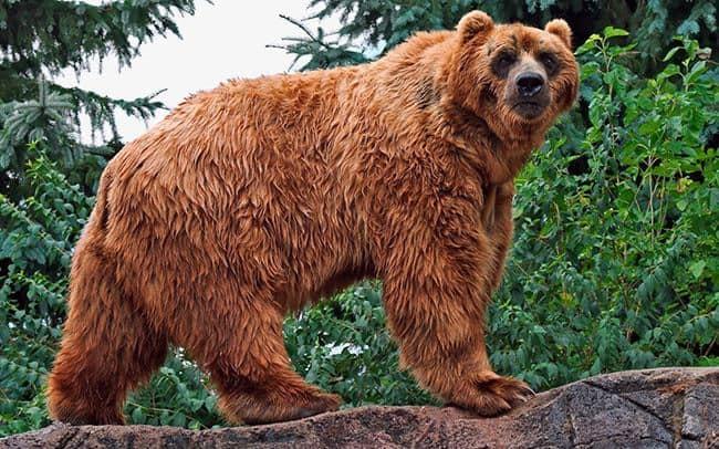 Какой медведь сильнее: белый или бурый