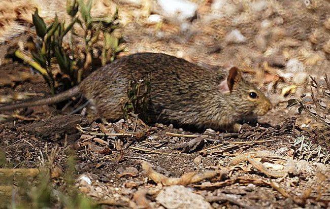 Тростниковые крысы