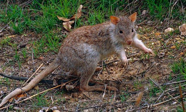 Большой крысиный кенгуру