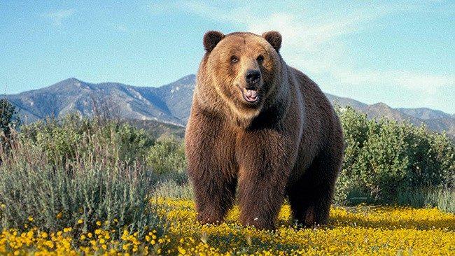 Сибирский бурый медведь