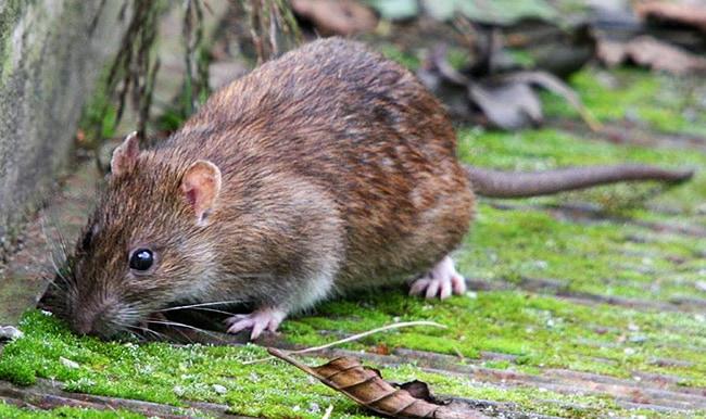 Серая большая крыса