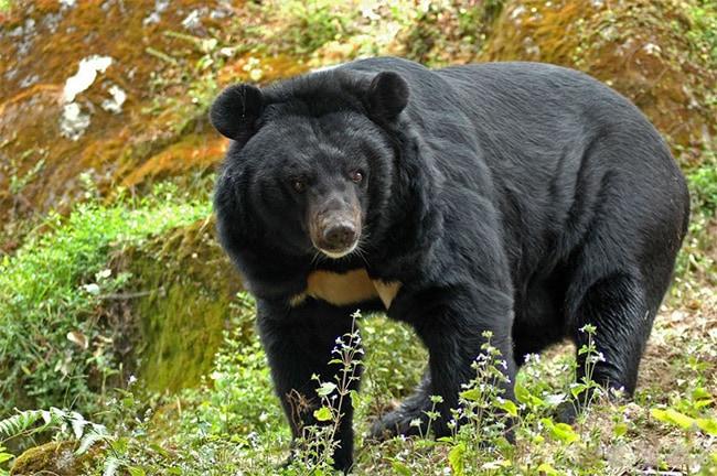 гималайский медведь животное