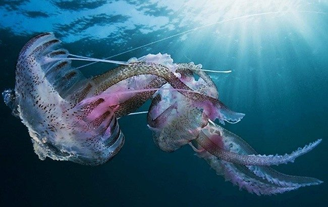 Медуза Пелагия