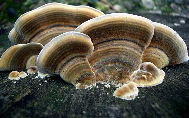 Fomitiporia ellipsoidea