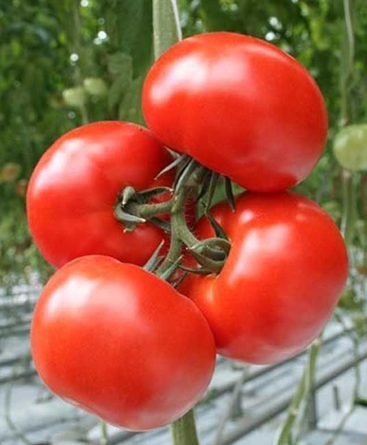 Русская душа, томат