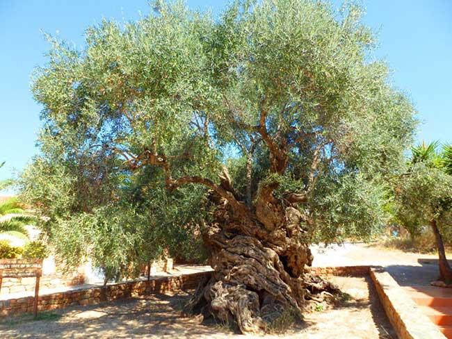 Оливковое дерево Вувес