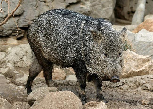 Висайская бородавчатая свинья