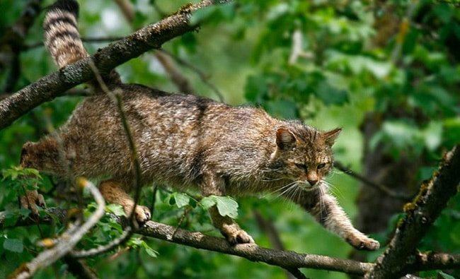 Европейская лесная кошка