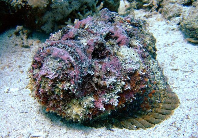 Рыба камень