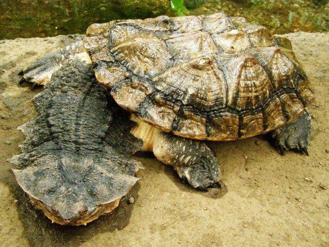 черепаха-гигант матамата