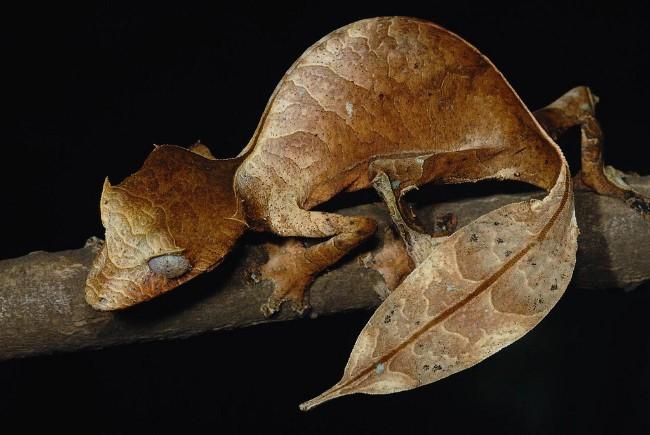 Сатанинский листохвостный геккон