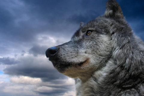 Список самых увлекательных фильмов про волков