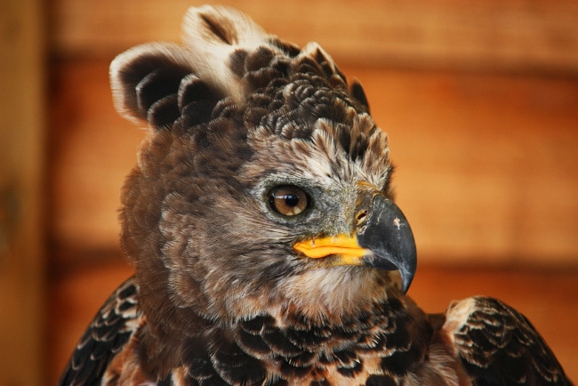 Африканский венценосный орел