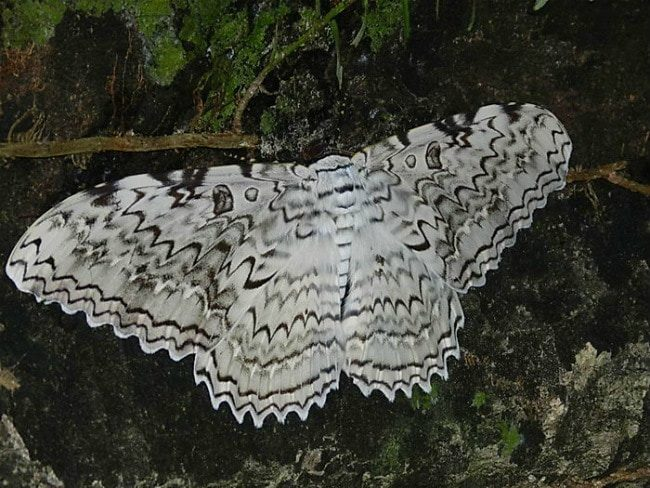 Южноамериканская тропическая совка