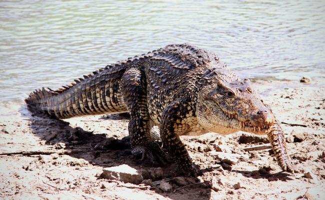 Кубинский или жемчужный крокодил