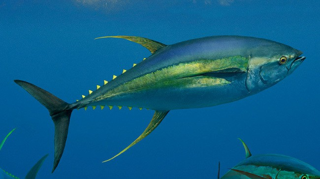 Желтый тунец
