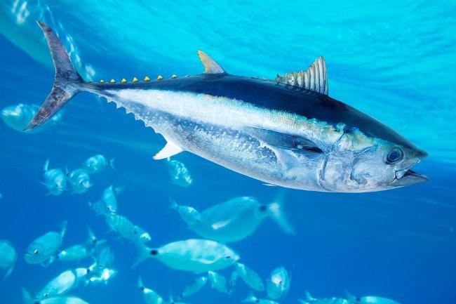 Южный голубой тунец