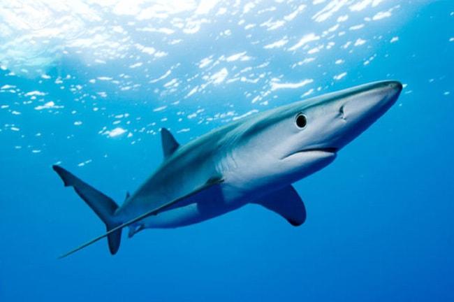 Синяя акула