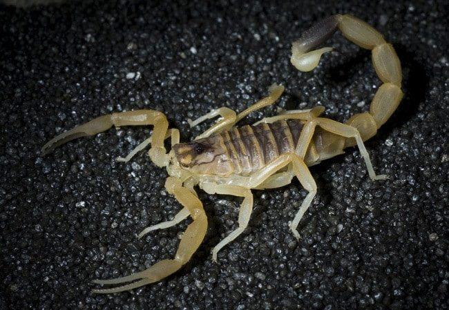 Скорпион Лейурус