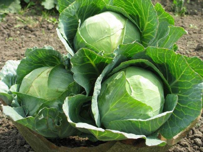 Лучшие сорта капусты для квашения на зиму